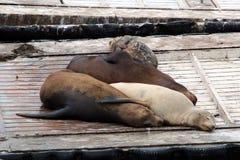 San Diego Sea Lions Royalty Free Stock Photos