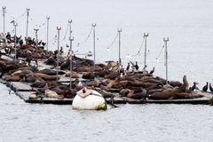 San Diego Sea Lions Royalty Free Stock Image