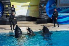 Free SAN DIEGO, USA - NOVEMBER, 15 2015 - The Killer Whale Show At Sea World Stock Image - 64107191