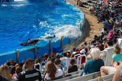 SAN DIEGO, USA - NOVEMBER, 15 2015 - The Killer Whale Show At Sea World Stock Image
