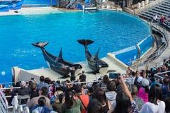 SAN DIEGO, USA - NOVEMBER, 15 2015 - The killer whale show at Sea World Stock Photo