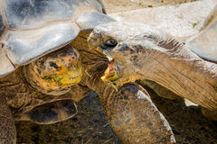 San Diego Zoo. Galapagos Turtle stock images