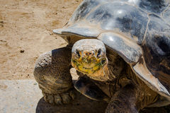 San Diego Zoo. Galapagos Turtle royalty free stock images