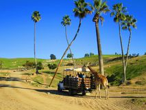 San Diego Zoo, people and giraffe, tourism Stock Images
