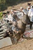 San Dimas Bull Riding. SAN DIMAS, CA - OCTOBER 2: Cowboy Brady Williams competes in the Bull Riding event at the San Dimas Rodeo on October 2, 2010 in San Dimas Stock Photos