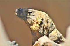 San Esteban Chuckwalla, Phoenix-Zoo, Arizona-Mitte für Erhaltung der Natur, Phoenix, Arizona, Vereinigte Staaten lizenzfreie stockfotografie