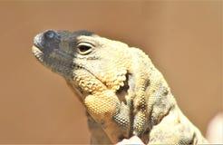 San Esteban Chuckwalla, Phoenix-Zoo, Arizona-Mitte für Erhaltung der Natur, Phoenix, Arizona, Vereinigte Staaten stockfoto