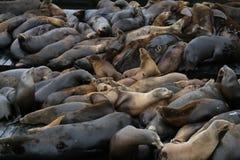 san för pir för 39 francisco lions hav Royaltyfria Bilder