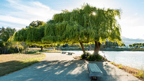 San Fran Willow. A hearty Willow on Anza Lagoon, just south of the San Francisco Airport, which seems to defy gravity and physics with its long overhang.  The Royalty Free Stock Photography