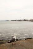 San Francisco Bay Area Seagull Imagem de Stock Royalty Free