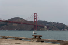 San Francisco Bay Area Seagull Fotografia Stock