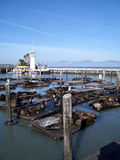 San francisco bay sea lions. Sunning by the pier royalty free stock image