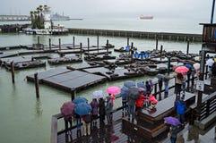San Francisco, CA, USA - März 2016: Seelöwen auf Pier 39 Lizenzfreie Stockfotografie
