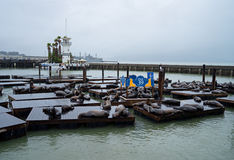 San Francisco, CA, USA - March, 2016: Sea lions on Pier 39 Royalty Free Stock Photography