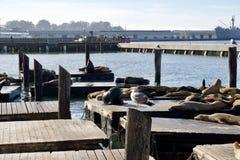 SAN FRANCISCO, CALIFORNIA, ESTADOS UNIDOS - 25 de noviembre de 2018: Sello o leones marinos en el embarcadero 39 de San Francisco foto de archivo