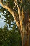 San Francisco eukaliptusowy Fotografia Royalty Free