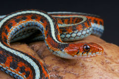 San Francisco garter snake / Thamnophis sirtalis tetraenia. Endemic to the San Francisco peninsula, these snakes are highly endangered due to habitat loss Royalty Free Stock Photo
