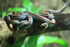 San Francisco garter snake. On the wood trunk Stock Image