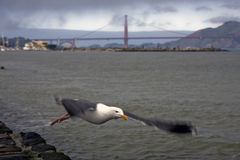 San Francisco Golden Gate Bridge and a seagull Royalty Free Stock Images