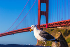 San Francisco Golden Gate Bridge seagull California Stock Image