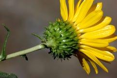 San Francisco Gumweed, Grindelia-stricta var platyphylla, Royalty-vrije Stock Foto's