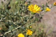 San Francisco Gumweed, Grindelia-stricta var platyphylla, Royalty-vrije Stock Foto