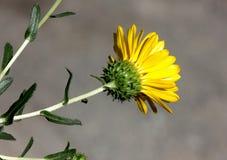 San Francisco Gumweed, Grindelia-stricta var platyphylla, Royalty-vrije Stock Foto