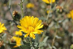 San Francisco Gumweed, Grindelia-stricta var platyphylla, Royalty-vrije Stock Afbeelding