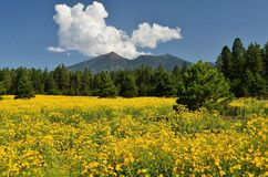 San Francisco Peaks. Ponderosa Pines and a meadow of Brown Eyed Susan flowers. Rustic fence on right side. Clouds in sky Royalty Free Stock Photos