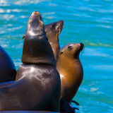 San Francisco Pier 39 lighthouse and seals California Royalty Free Stock Image