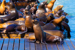 San Francisco Pier 39 lighthouse and seals California. San Francisco Pier 39 lighthouse and seals at California USA stock image