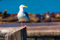 San Francisco Pier 39 seagull and seals at California Stock Images