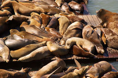 San Francisco Sea Lions. Sea lions basking near pier 39 Royalty Free Stock Image