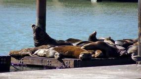 SAN FRANCISCO, USA - 5. Oktober 2014: Die ikonenhaften Seelöwen an Pier 39 auf der Bucht, die Alcatraz gegenüberstellt, sind ein  Stockfotografie