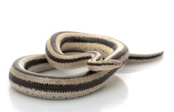 San Ignacio Rosy Boa Royalty Free Stock Images