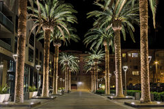 San Jose Palms. This is an image of a row of palm trees located in the heart of San Jose`s downtown district. The scene is a well-lighted set of palm tree royalty free stock image