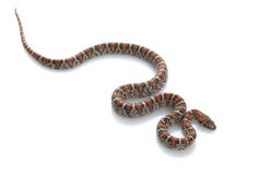 San Louis Petos Kingsnake Royalty Free Stock Image