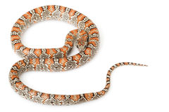 San Luis Petos Kingsnake Royalty Free Stock Images