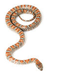 San Luis Petos Kingsnake Stock Images