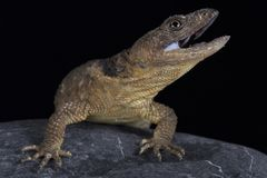 San Martin rock lizard Xenosaurus sanmartinensis. The San Martin rock lizard Xenosaurus sanmartinensis is a rare and endangered lizard species endemic to rocky Stock Photos