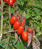 San marzano tomatoes. Closeup of san marzano tomatoes Royalty Free Stock Image