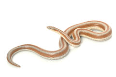 San Mateo Rosy Boa Royalty Free Stock Photos
