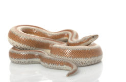 San Mateo Rosy Boa Stock Photos
