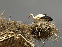 San Miguel storks Stock Photo