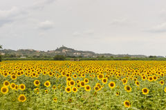 San Miniato (Tuscany) and sunflowers Royalty Free Stock Images