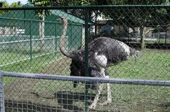 Black ostrich on display behind fence for conservation. San Pablo City, Laguna, Philippines - December 3, 2016: Feathering Black ostrich on display behind fence Royalty Free Stock Image