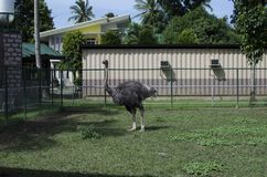 Black ostrich on display behind fence for conservation. San Pablo City, Laguna, Philippines - December 3, 2016: Feathering Black ostrich on display behind fence Royalty Free Stock Images