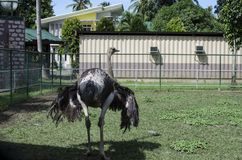 Black ostrich on display behind fence for conservation. San Pablo City, Laguna, Philippines - December 3, 2016: Feathering Black ostrich on display behind fence Stock Images