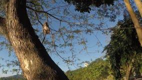 Small captive monkey chained on the tree. San Pablo City, Laguna, Philippines - January 26, 2018: Small captive monkey chained on top of the tree stock video footage