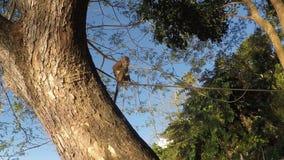 Small captive monkey chained on the tree. San Pablo City, Laguna, Philippines - January 26, 2018: Small captive monkey chained on top of the tree stock footage